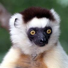 lg_cube_lemur