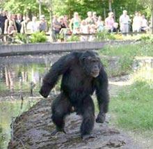 chimp-stone